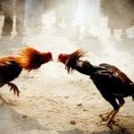 ไก่ชนพม่า
