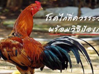 โรคไก่ที่ควรระวัง พร้อมวิธีป้องกัน