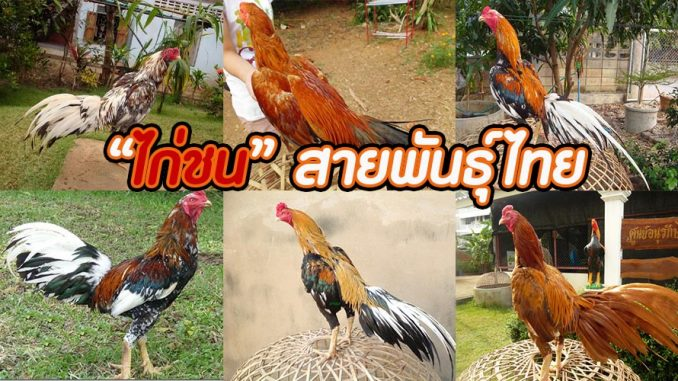ไก่ชน สายพันธุ์ไทย