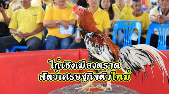 ไก่เชิงเมืองตราด สัตว์เศรษฐกิจตัวใหม่