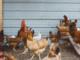 เลี้ยงไก่ให้พร้อมออกชน อาหารเสริม สำหรับไก่ชนโดยเฉพาะ