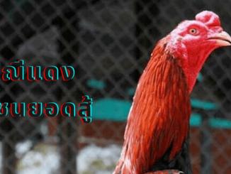 มณีแดง ไก่ชนยอดนักสู้