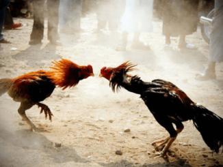 วิธีการเลี้ยงไก่สำหรับชน
